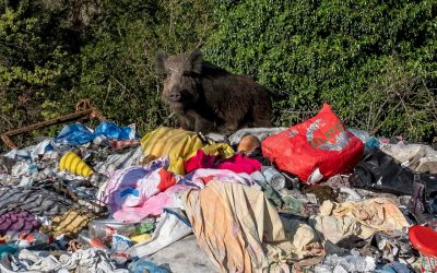 A Boar and Her 6 Piglets Are Killed at a Park in Rome