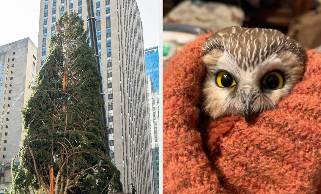 This Owl Is Going Viral After Being Rescued From The Rockefeller Center Christmas Tree, But Not Everyone Is Happy